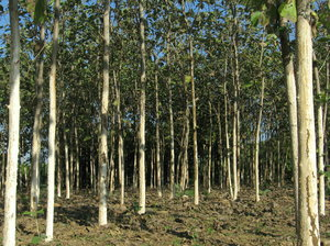 Teak plantation: A teak plantation at Village Sevasi in Gujarat, India.