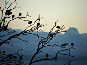 ibis silhouettes: silhouettes of a flock of ibises resting in tree branches