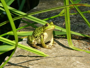 Large Green Frog