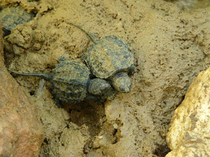 Baby Snapping Turtles