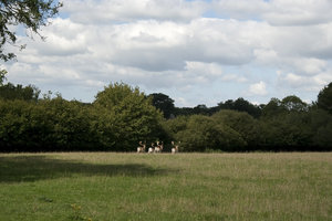 Stag landscape: Field landscape in West Sussex, England, in summer, with retreating fallow deer.