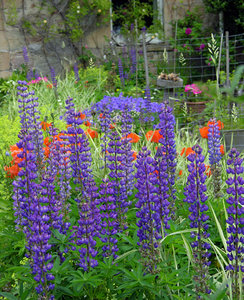 Lupin & Poppies