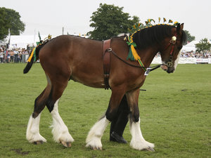 Shire horse 2