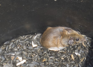 Garage Mouse: This mouse jumped in this pail of sunflower seeds in my garage every night for 3 weeks, and every morning I would let it free outside. My husband thinks I'm nuts.