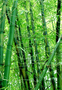 bamboo: Bamboo at the Japanese Gardens in West Palm Beach, Florida