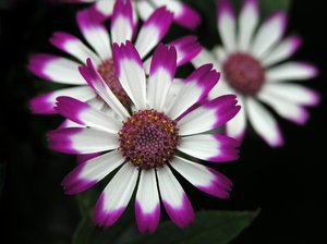 Flower splendor 2: flowers - spanish daisies