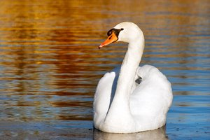 Sunset swan: swan in afternoon twilight