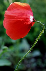 corn poppy: It's only a litle flower but so wonderful