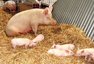 some days I get up weary: weary looking sow with six piglets