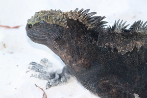 Marine iguana: Marine iguanas come to rest and dry on the beach. Still as a rock.