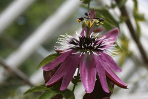 Greenhouse passion flower