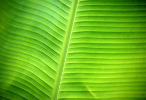 banananana: banana leaf
