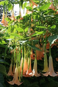 Angel's Trumpets: A garden cultivar of Angel's Trumpet (Brugmansia) in flower in Madeira.
