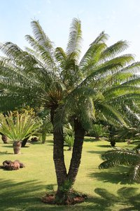Cycad trees