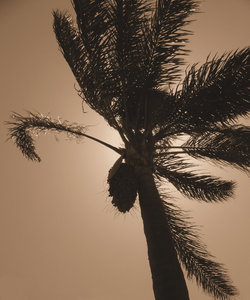 sepia palm tree silhouette: palm tree fronds bending/blowing in the breeze silhouetted against sun