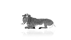 Wallpaper Zebra
