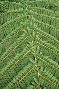 Tree fern frond: A frond of a large tree fern, seen from above.
