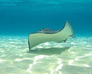 Grand Cayman stingray