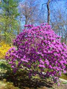 Azalea bush: Azalea bush in full bloom color of dark pink