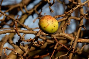 Autumn Apple on branch
