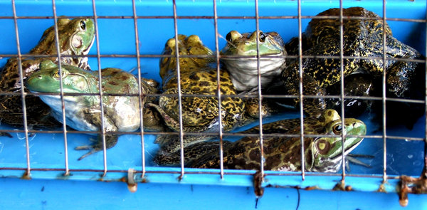 fresh frogs