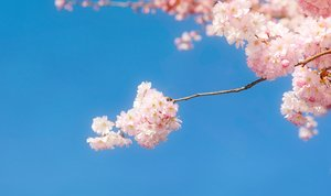 Spring blossoms: Soft cherry tree blossoms