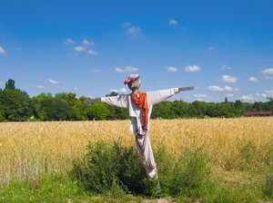 scarecrow at wheat field 2