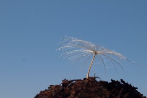 Dandelion in soil with blue sk: Dandelion in soil with blue sky background