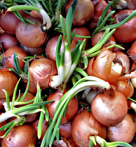 shooting onions: stored onions shooting & beginning growth cycle