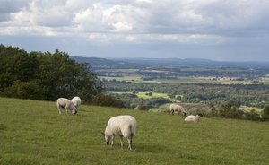 Downland sheep