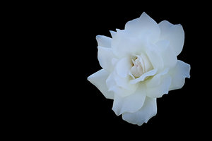 Rose on Black: A beautiful white rose isolated on a black background. Easy to add more copyspace.