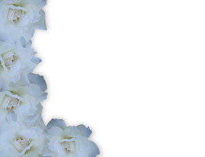 White Rose Border: A beautiful white rose border on a white background. Easy to add more copyspace.