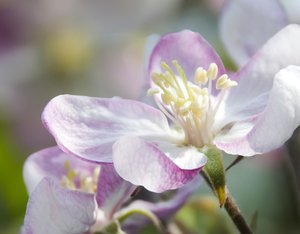 Spring Blosom: Close up photo of apple tree blossom