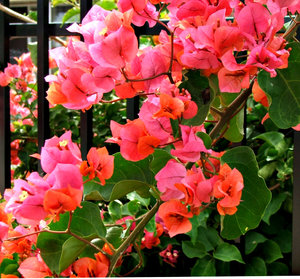 bougainvillea dark pink: cluster of dark pink and white bougainvillea flowers