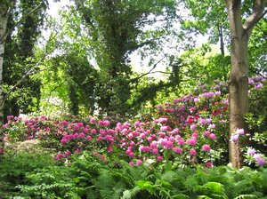 wild rhododendron scenery