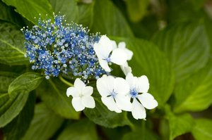 Blue Flower: Blue flowers