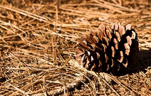 Pine Cone and Straw