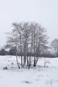 Snowy trees: A stand of young trees in a meadow in West Sussex, England, in February snow.