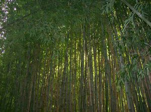 Bamboo Grove: tall bamboo plants