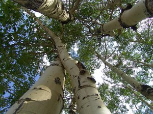Grove of White Aspen, Colorado