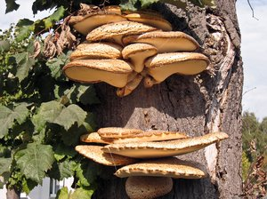 mushrooms on tree