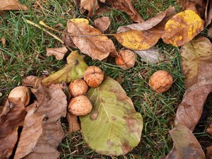 walnuts on the ground