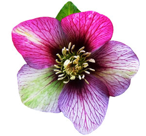 Hellebores in the pink