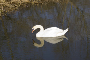 Narcissism: A sleepy white swan on a river in West Sussex, England.