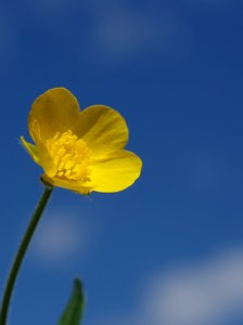 Buttercup in front of sky
