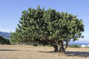 Carob trees: Isolated carob (Ceratonia siliqua) trees in a field in northern Cyprus.