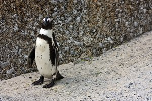 African Penguin: African penguin at Boulders Beach near Cape Town, South Africa.