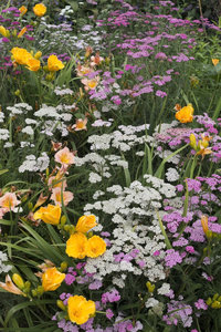 Summer flowers: A border of mixed summer flowers in a garden in England.