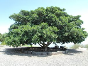 large tree: large tree in Capernaum, Israel