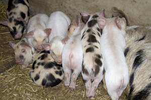 Piglets: Gloucester Old Spot piglets in a farm in northern England